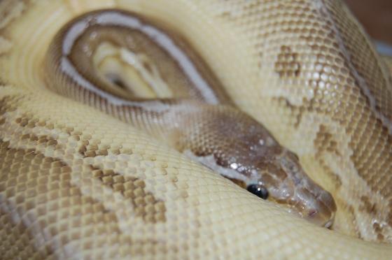 Velvet - head tucked between coils DSC_0006