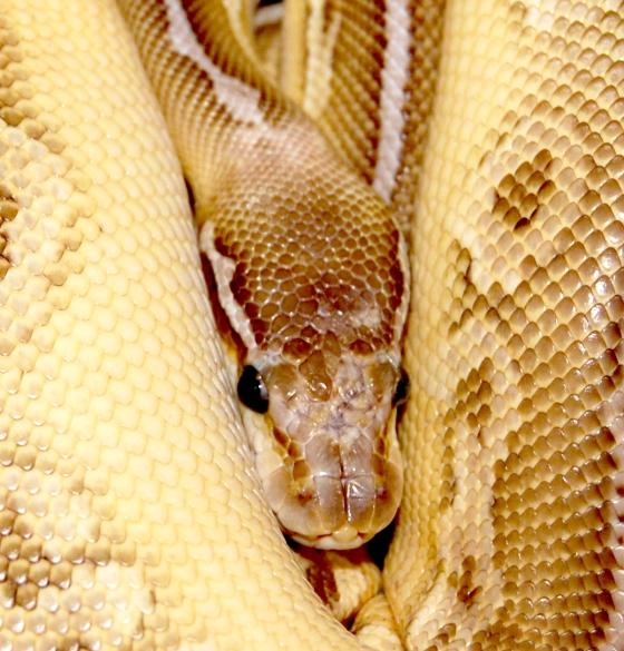 Velvet - sneaky hiding snake DSC_0007