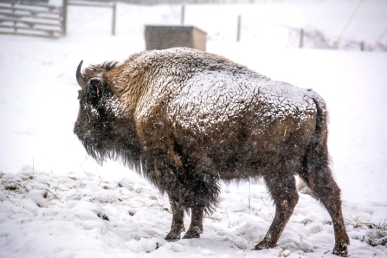 Buffalo in winter cold