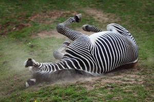 zebra-down