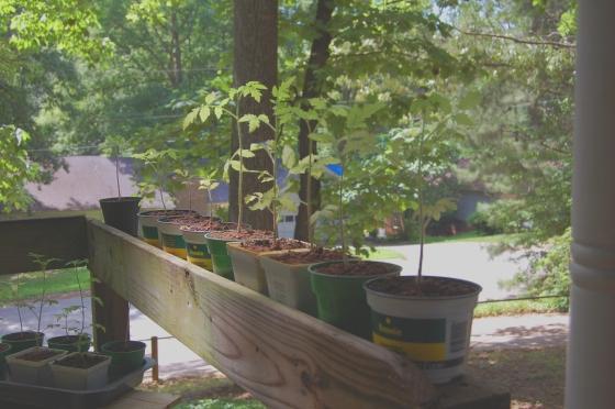 Tomato plants on railing